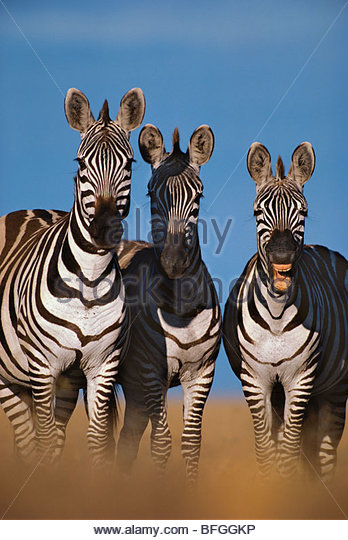 Zebras braying, Equus quagga, Masai Mara Reserve, Kenya - Stock Image