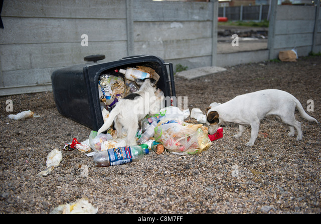 Two small terrier type dogs scavenging around a wheely bin full of food and waste that has been knocked over and - Stock Image