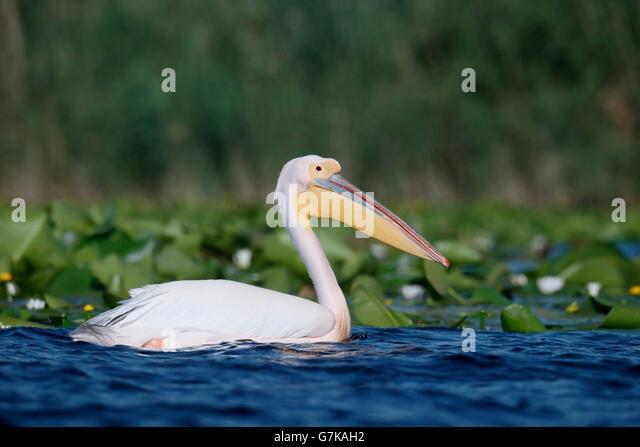 Great white-pelican, Pelecanus onocrotalus, Single bird in water, Romania, June 2016 - Stock Image