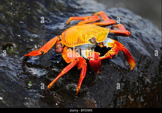 Sally Lightfoot Crab (Grapsus grapsus), adult, Espa ola Island, Galapagos, Ecuador, South America - Stock-Bilder