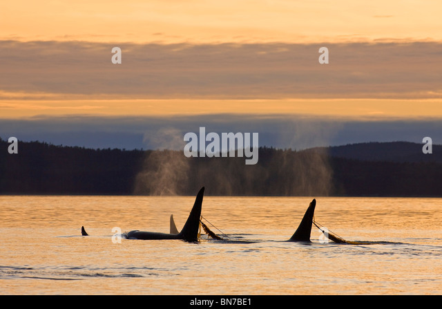 Orca Whales surface while playing in a kelp bed at sunset, Inside passage, Admiralty Island, Tongass National Forest, - Stock Image