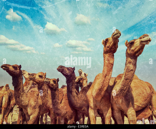 Vintage retro hipster style travel image of camels at Pushkar Mela (Pushkar Camel Fair) with grunge texture overlaid. - Stock Image