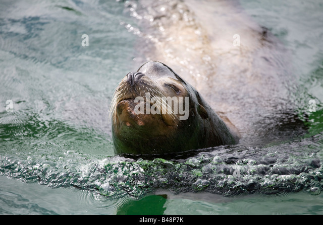californian sea lion rocky Zalophus californianus rescued at national seal sanctuary cornwall - Stock Image