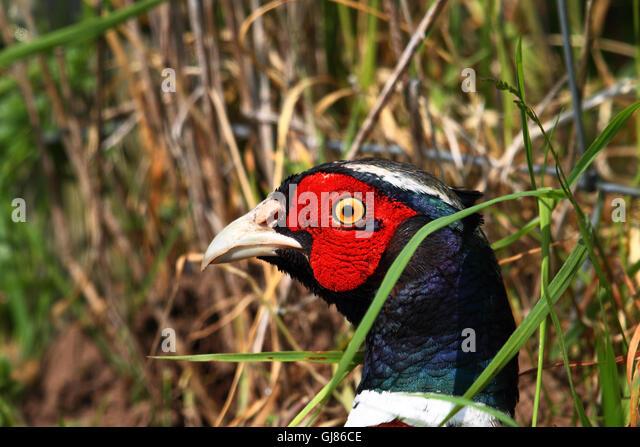 Common Pheasant (Phasianus colchicus) portrait - Stock Image