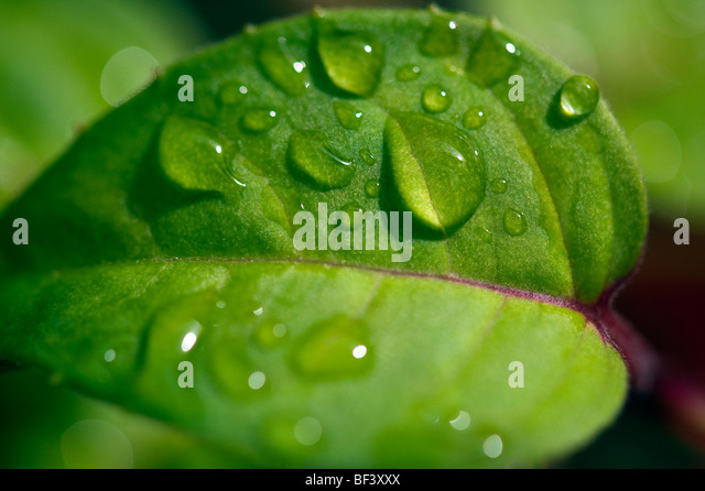 Early morning dew drops gather on the leaves of a plant in the garden of a home in rural England - Stock Image