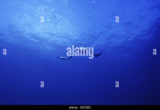 Fluttering shearwater flying underwater swimming towards camera depth 8 metres Mayor Island New Zealand - Stock Image