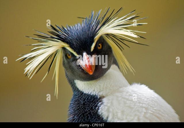 Rockhopper Penguin (Eudyptes chrysocome), portrait - Stock Image