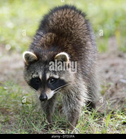 Young Raccoon,Close Up Shot - Stock Image