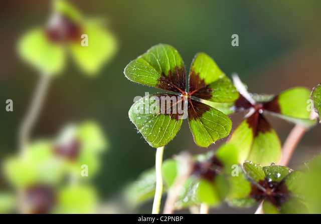 Four - Leaved Clover - Stock Image