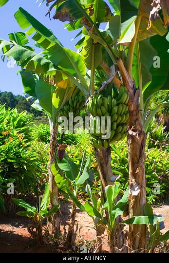 Banana Hanging Cluster - Stock Image