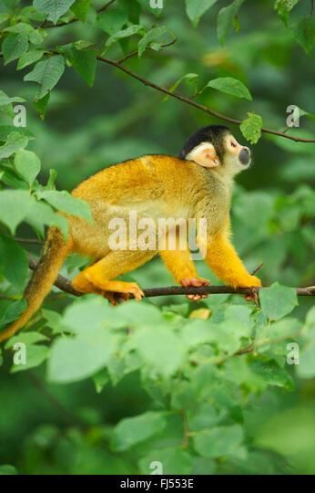 common squirrel monkey (Saimiri sciureus), sits on a twig lookong up - Stock Image