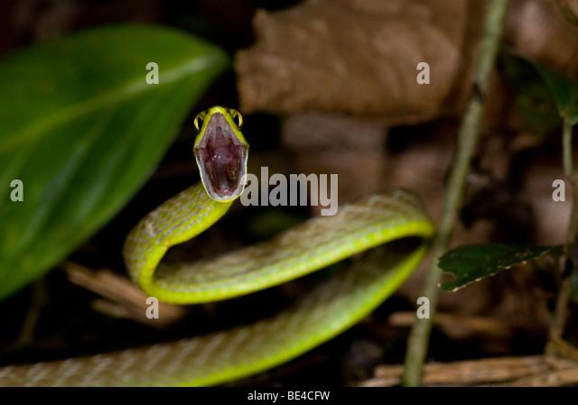 Lora Snake, Green Parrot Snake (Leptophis ahaetulla) in defensive position, Tenorio Volcano National Park, Costa - Stock Image