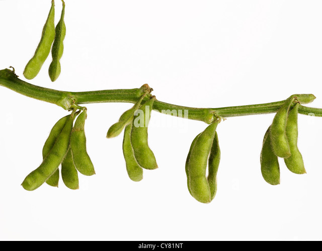 Soybean Pods Hanging on Branch - Stock Image