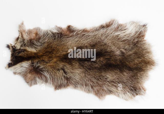 canadian marmot - Stock Image