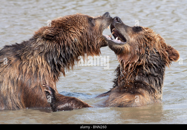 CAPTIVE: Two Grizzly play fight in the water of Turnagain Arm at the Alaska Wildlife Conservation Center, Alaska - Stock Image