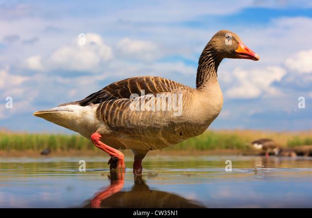 Greylag goose(Anser anser)Hungry - Stock-Bilder