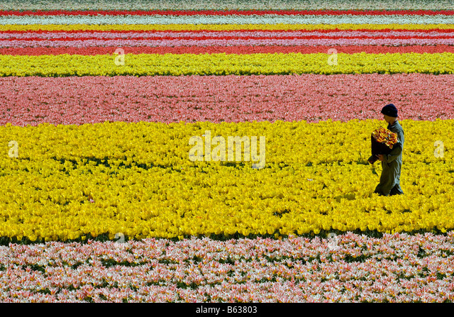 Netherlands Zuid Holland Lisse Worker working in the tulip field - Stock-Bilder