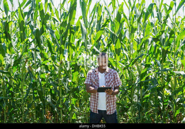 A man in working clothes standing in front of a tall maize crop, towering over him. - Stock Image