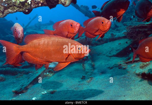 Big-eye or Goggle-eye on wreck.  Red Sea, Egypt. - Stock Image