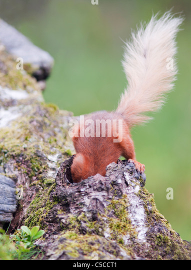 Cheeky Red Squirrel Sciurus vulgaris with it's head down hole in fallen log looking for peanuts,  Strathspey, - Stock Image