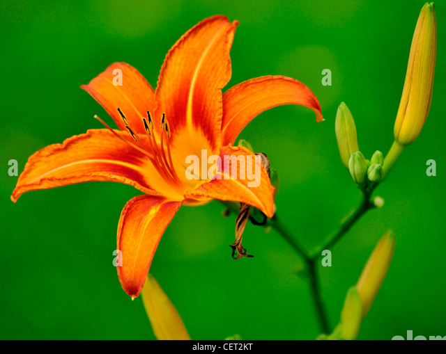 orange lily flower and buds - Stock Image
