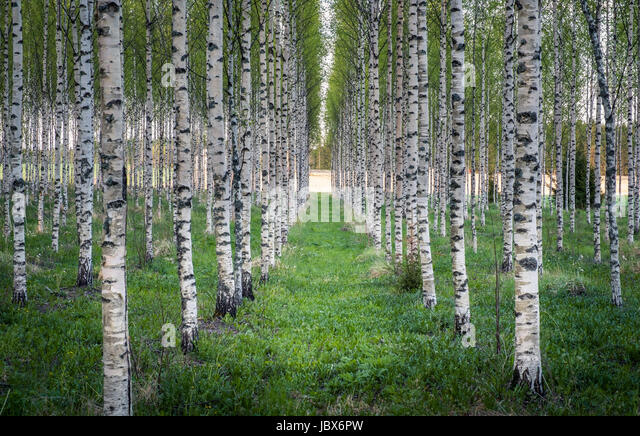 Scenic landscape with many birch trees at summer evening in Finland - Stock Image