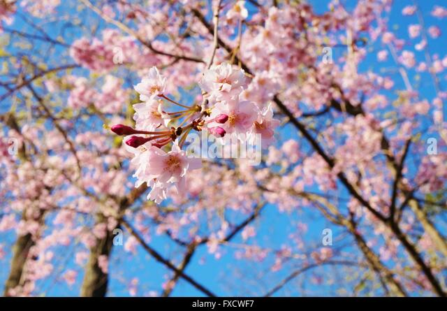 Pink blossoms of a weeping cherry prunus tree in spring - Stock Image