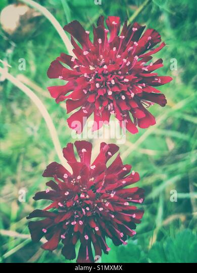 Crimson Scabious flowers - Stock Image