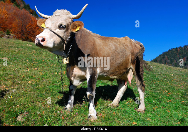 Farm cow in outdoor landscape - Stock Image