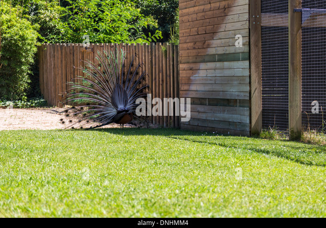 Male Indian peafowl (Pavo cristatus) displaying plumage, Barcelona Zoo, Barcelona, Catalonia, Spain - Stock-Bilder