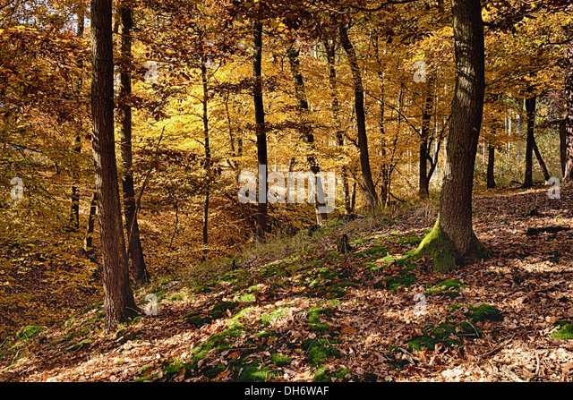 The old Oak forest in falls morning - Stock Image
