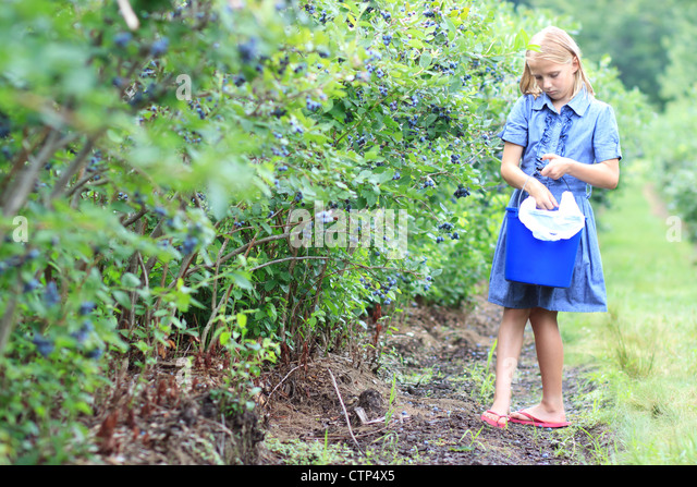 Young Blond Girl Picking Blueberries in a Blue Dress - Stock Image