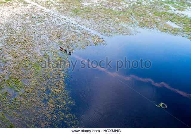 Three cows walk through a flooded field, leaving a muddy trail in their wake. - Stock-Bilder