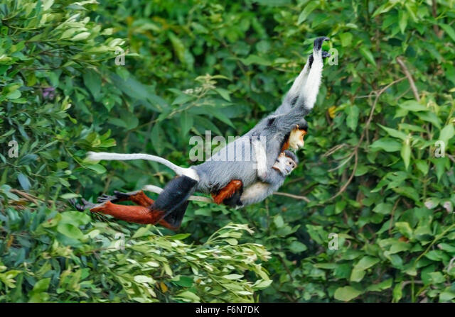 Mother and baby Red-shanked douc leaping through the canopy at Son Tra nature reserve in Vietnam - Stock-Bilder