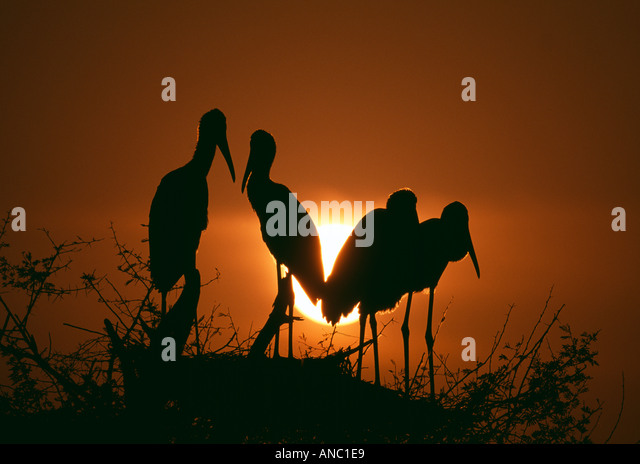 Painted Storks silhouetted at dusk against setting sun Bharatpur India - Stock-Bilder