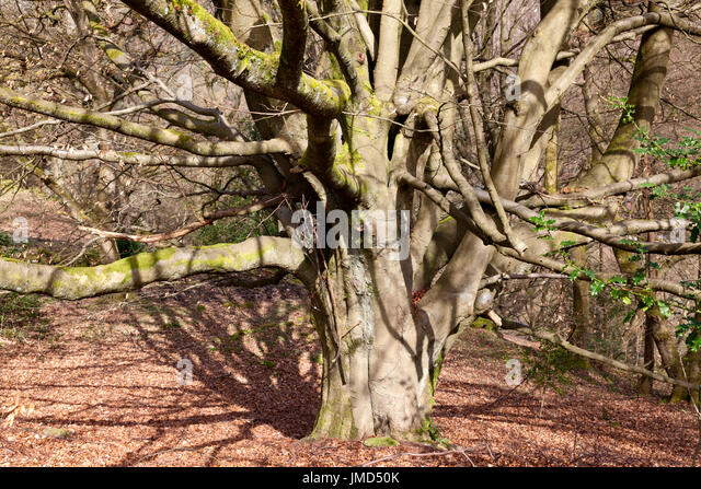 Old tree with many branches, Hebden Bridge, West Yorkshire - Stock Image