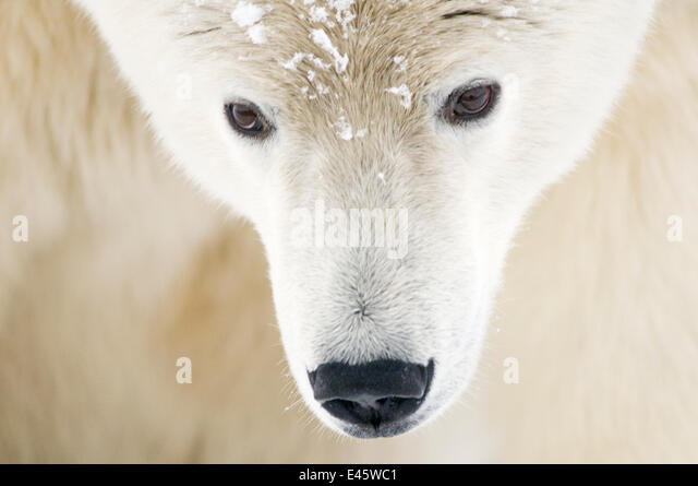 Polar bear (Ursus maritimus) head close-up portrait of an adult male, with snowflakes on fur, Barter Island, 1002 - Stock Image