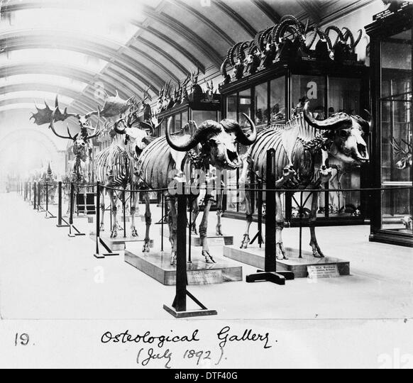 Osteological Gallery, Natural History Museum, London, July 1892 - Stock Image