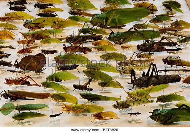 Katydid specimens, Tettigoniidae family, National Institute of Biodiversity, San Jose, Costa Rica - Stock Image