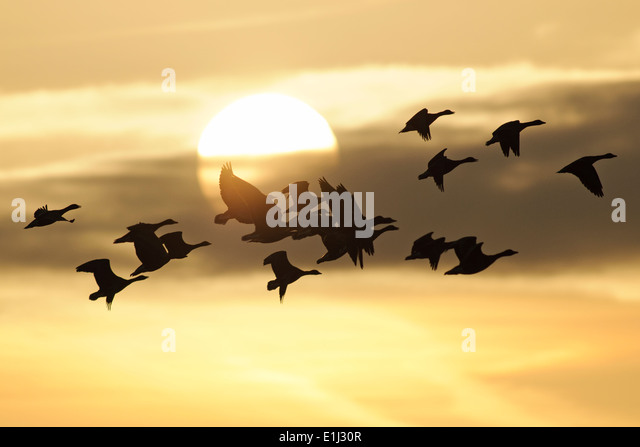 Germany, Mecklenburg-Western Pomerania, Grey geese, Anser anser, at sunset - Stock Image