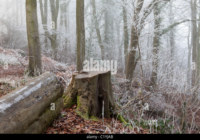 Hoar frost and mist in winter in Maitlands Wood on Scottsquar Hill in the Cotswolds at Edge, Gloucestershire, England, - Stock-Bilder