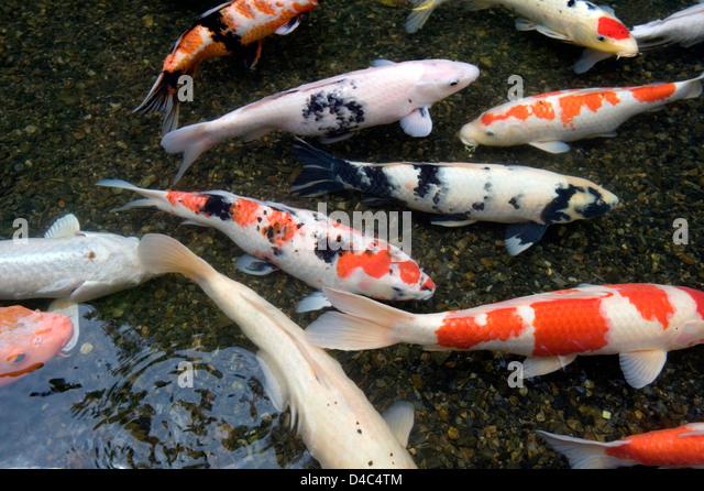 Taisho pond stock photos taisho pond stock images alamy for Shallow koi pond