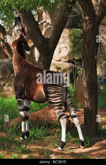 Okapi Herbivorious mammal with unusual markings The Flagship species of the Ituri Rainforest Democratic Republic - Stock-Bilder