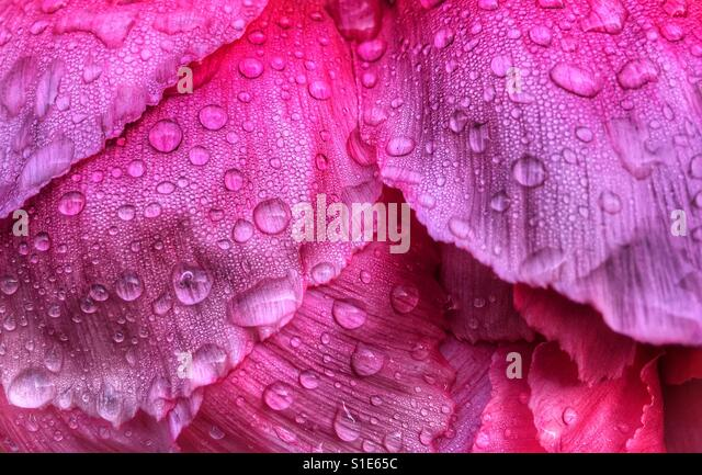 Tree peony, close up of textured petals with raindrops - Stock-Bilder