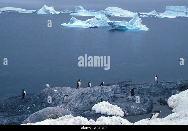 ANTARCTICA Gentoo Penguins on rock surrounded by Icebergs - Stock Image