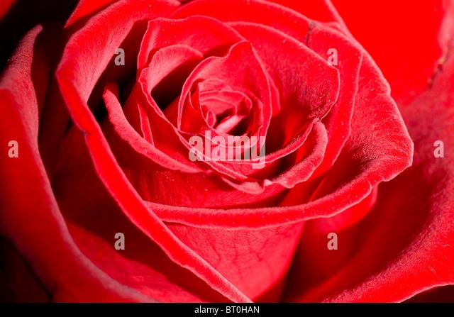 Romantic beautiful red rose close-up. Selective focus. - Stock-Bilder