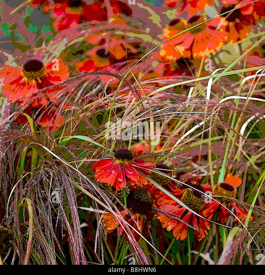 HELENIUM AND STIPA IN ASSOCIATION MANIPULATED - Stock Image