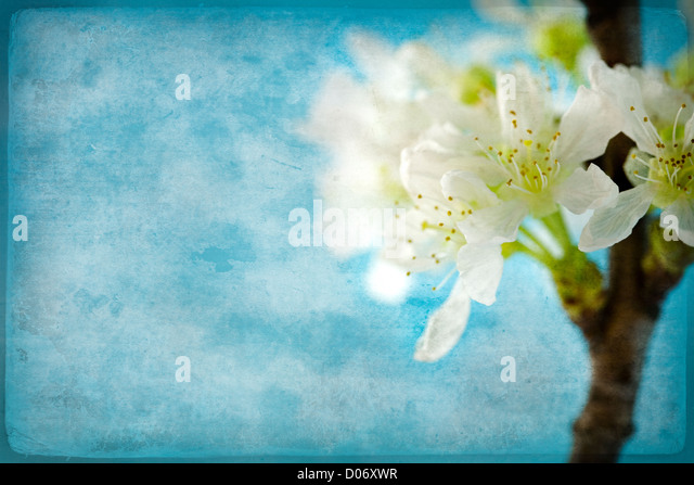 Vintage, stained paper with delicate cherry flowers - Stock Image