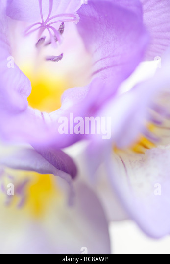 delicately fragranced mauve freesia soft ethereal fine art photography - Stock Image