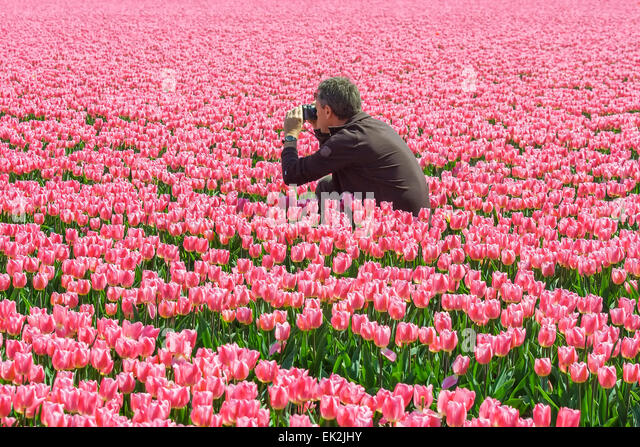 Man taking a picture in a tulip field - Stock-Bilder